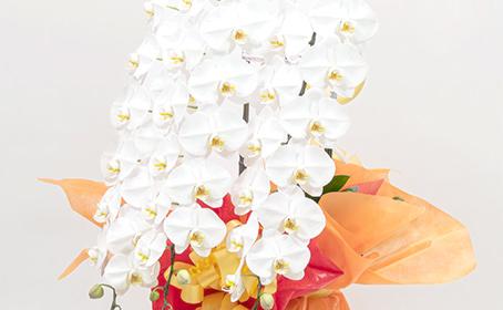 大きな胡蝶蘭の鉢植え