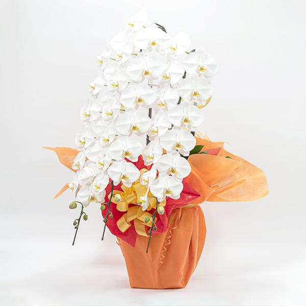 白の胡蝶蘭の鉢植え