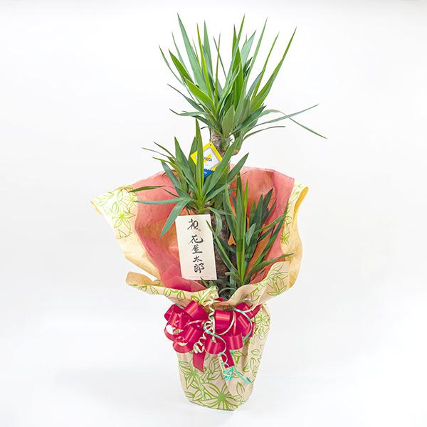 ギフト包装されたユッカの鉢植え