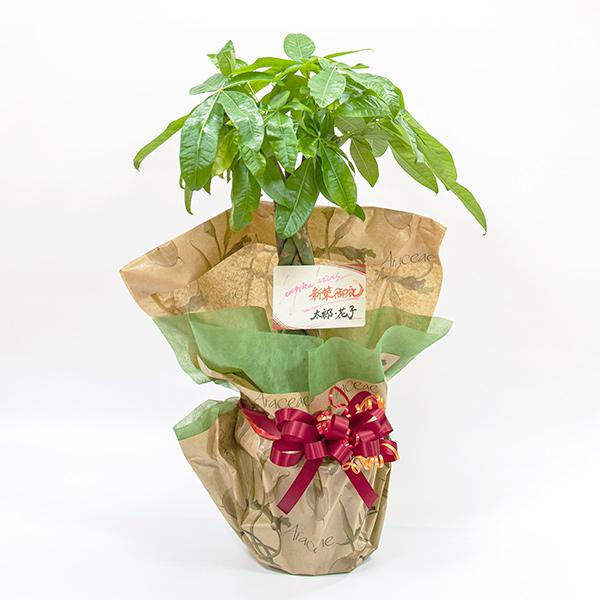 ギフト包装されたパキラの鉢植え