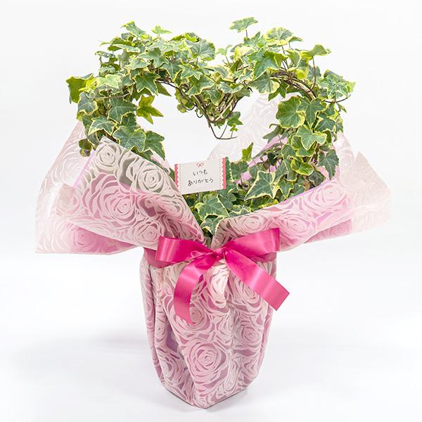 ギフト包装されたハート型アイビーの鉢植え