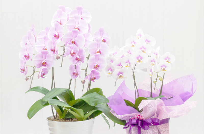 2種類の胡蝶蘭の鉢植え